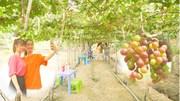 Nô nức check-in vườn nho trĩu quả rộng gần 2000 m2 ở Đồng Tháp