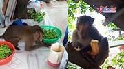 Khỉ quý hiếm trộm đồ nhà dân, 'quậy banh' khu dân cư  ở Sài Gòn