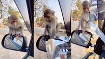 Chú khỉ thông minh leo lên gương xe ô tô để xin thức ăn
