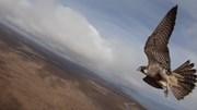 """Khoảnh khắc chim ưng """"hạ đo ván"""" máy bay không người lái"""