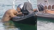 Hải cẩu to lớn vụng về 'chiếm' thuyền không người lái để thư giãn